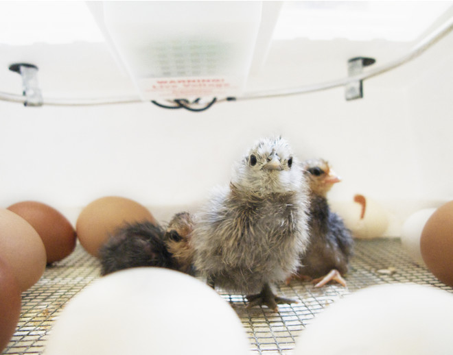 как правильно закладывать яйца в инкубатор