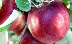 сша появился сорт яблок портятся год лежат холодильнике