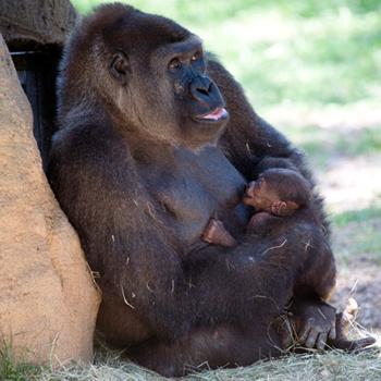 Горилла по имени Кучи прославилась на весь мир в 2005 году, когда стала первой гориллой из США, сумевшей самостоятельно родить в неволе близнецов - мальчугана Кали и девочку Кази. Совсем недавно, 22 мая, в семействе произошло пополнение: у близнецов появился брат. Сейчас сотрудники зоопарка в Атланте ломают головы над тем, как назвать малыша.