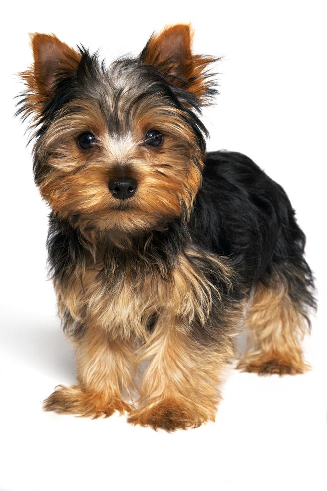породы собак с гипоаллергенной шерстью