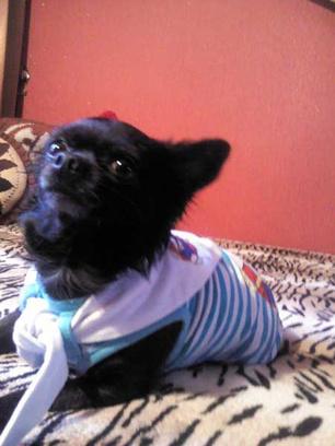Чихуахуа, модная одежда для собак
