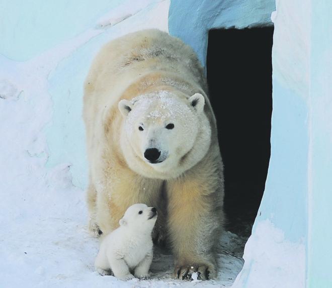 Белый медвежонок родился в Новосибирском зоопарке