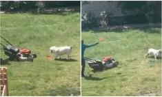 находчивый пес кладет фрисби газонокосилкой поиграли видео