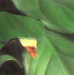 При избыточном поливе концы листьев становятся коричневыми с выраженным пожелтением.