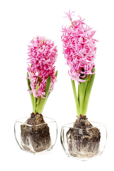 Купить тюльпаны в горшке москва кованые цветы купить киев