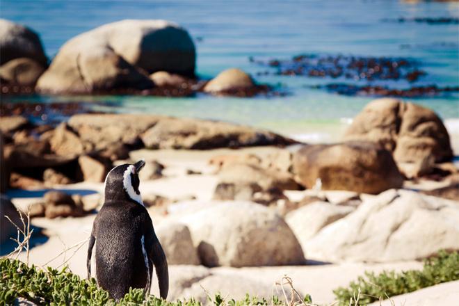 Пляж с пингвинами, ЮАР