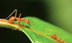 Ученые разгадали загадку силы муравьев