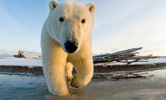 На Чукотке замечен белый медведь с надписью «Т-34» на боку (видео)