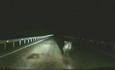 Разъяренная медведица одним прыжком остановила машину, чтобы защитить шедшего по дороге медвежонка (видео)
