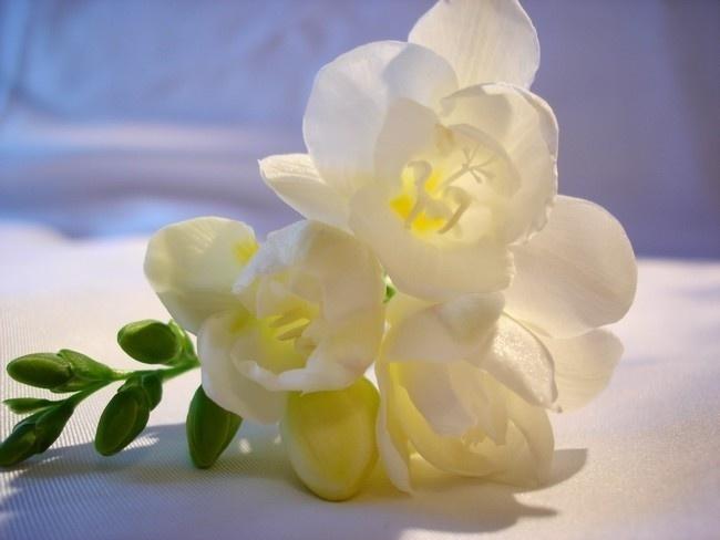 Фрезия гибридная, белая, 5 руб.