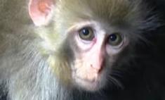 Милота дня: коза «удочерила» обезьянку