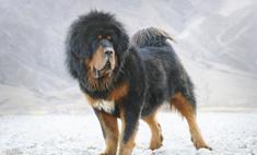 Умная и независимая: собака тибетский мастиф