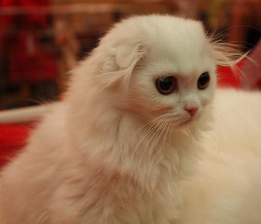 """Британец хайленд фолд, выставка """"Городские кошки"""""""