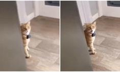 видео здоровающейся английском кошкой вирусным