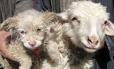 Овца из Китая родила собаку