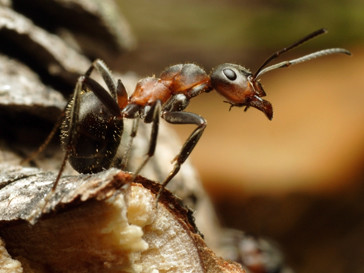 Муравей -= самое древнее насекомое