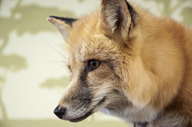 В Новосибирске разводят одомашненных лис