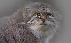 Манул: описание кошки, её привычки и повадки