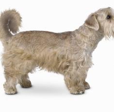 Особенности породы собак силихем терьер