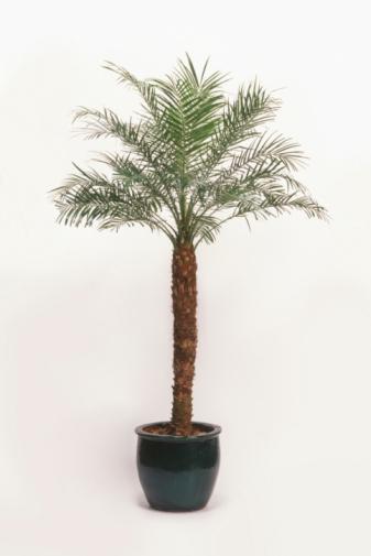 почему сохнет финиковая пальма в домашних условиях