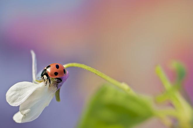 белоцветник