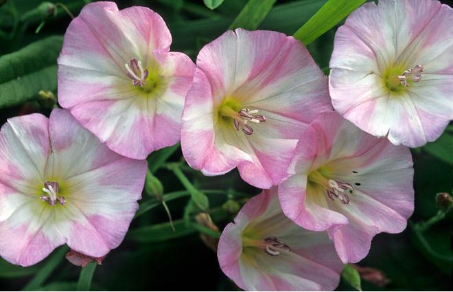 цветок вьюнок
