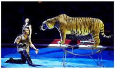 Астраханцы выберут имена для тигрят Багдасаровых
