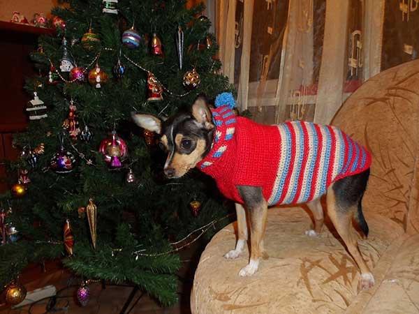 Русский тойтерьер, модная собака