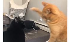 Рыжий кот остановил кота-противника человеческим жестом (видео)