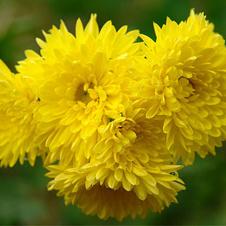 Хризантема (желтая)Тайный возлюбленный