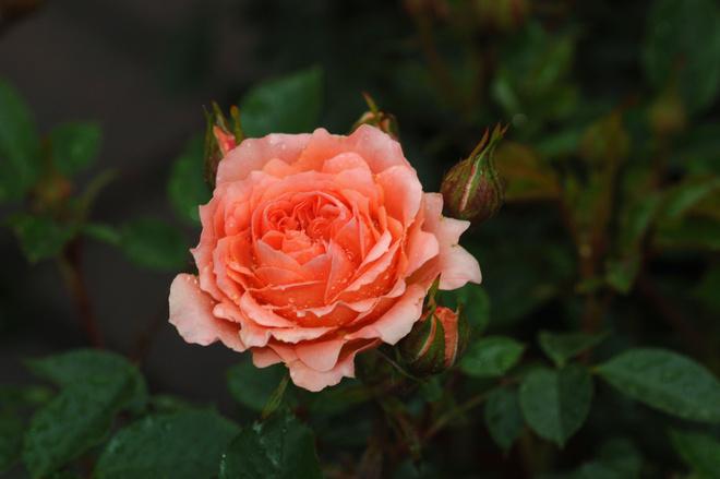 уход за розой кордана