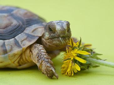 Двуглавая черепаха станет новым предсказателем