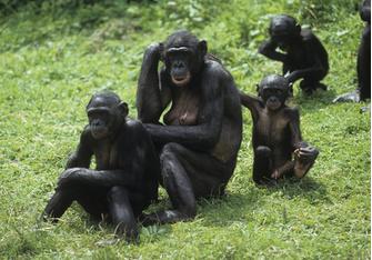 гармоничная жизнь от бонобо