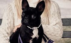 Бульдог Леди Гага стал иконой стиля