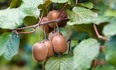 Экзотика на приусадебном участке: выращивание актинидии (киви)