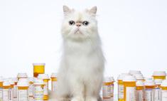 Порода кошек экзот - описание и уход