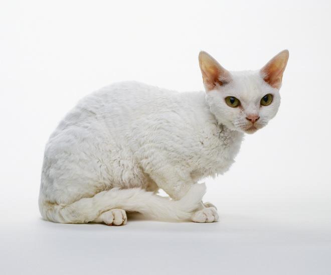 кошка порода рекс