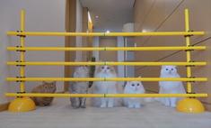 разные темпераменту коты преодолевают полосу препятствий видео