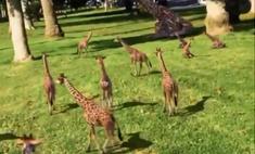 видео выводком жирафят набрало миллионов просмотров сутки