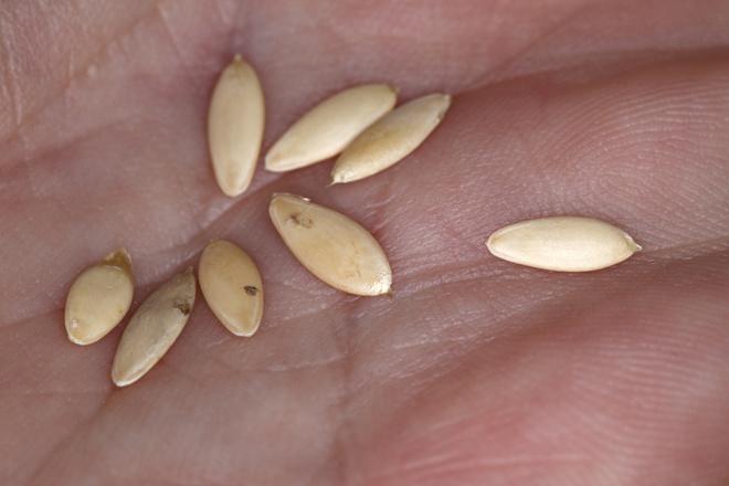 как собирать семена огурцов