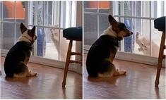 Корги демонстративно не реагирует на попытки кошки открыть дверь (видео)