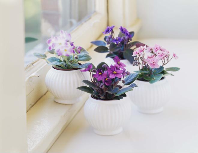 комнатные цветы фиалки
