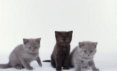 Описание породы британская короткошерстная кошка, особенности характера и правила ухода
