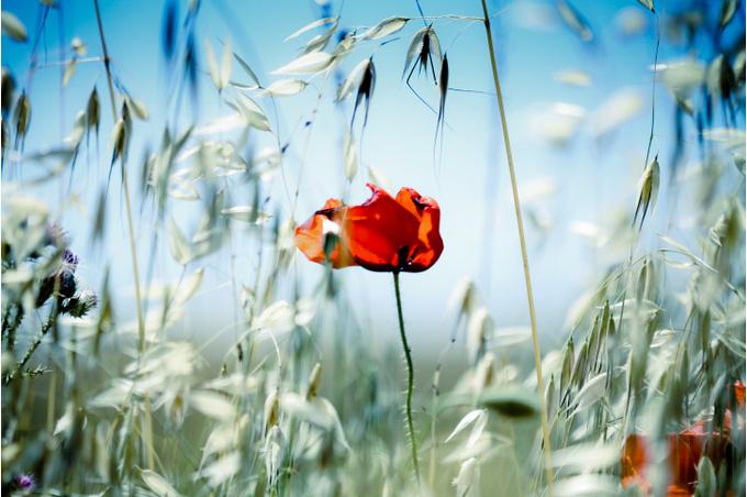 Цветок мака, крупный план