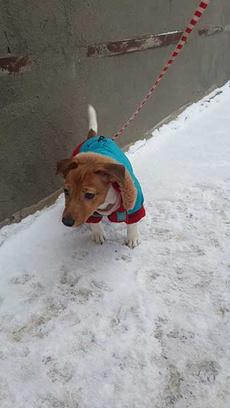 Джек Рассел, модная одежда для собак