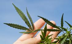 В честь дочери Бейонсе назван сорт марихуаны