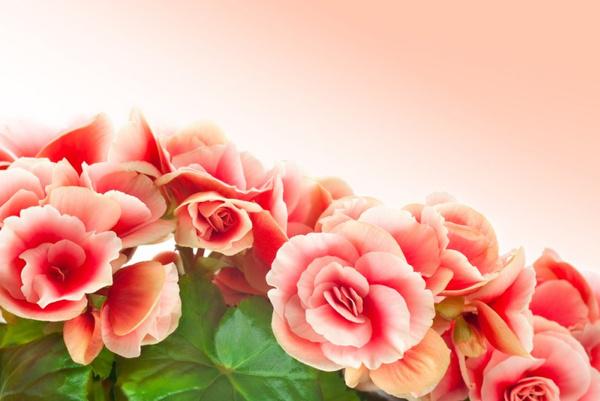 Бегония элатиор: уход за цветком