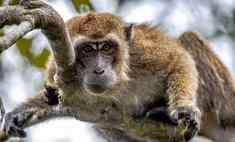 Что будет, если беременная подойдет слишком близко к обезьяне