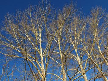 Вандалы спилили одно из самых популярных деревьев Америки