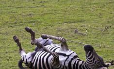 В рижском зоопарке погибли страусы и зебры
